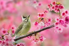 Taiwan Yuhina and Cherry Blossoms by Sue Hsu on 500px