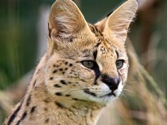 SERVAL by requestLeptailurus serval©oasisexoticcats.com A medium-sized African wild Cat. DNA analysis  indicates servals descend from the same ancestor as the lion, but share common  traits with the Cheetah. The African Golden Cat and  Caracal are closely related and may have branched by  cross-breeding. Length — 85-112cm (33-44 in), plus 30-50cm  (12-18 in) of tail,Shoulder height — 54-66cm (21-26  in) Weight rangesFemales — 9 to 16kg (20-35 lbs)Males — 12  to 26kg (26-57 lbs) in…