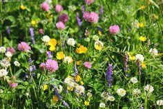 Kukkaniityllä - kesäkukat niittykukat luonnonniitty kukkaniitty niitty kukkivat luonnonkukat kesäkukat kukat luonnonvaraiset kasvit valkoiset punaiset apilat virnat sininen hiirenvirna hiirenherne keltainen niittyleinikki leinikki valkoinen punainen apila valkoapila puna-apila puna-apilat valkoapilat niittyleinikit keltaiset leinikit siniset hiirenvirnat kesäinen näky kesäkukkaniitty kukkaketo luonnonkukkaniitty aurinkoinen aurinkoinen kesäpäivä juhannusaika maaseutu juhannuksen aikaan… Meadow Flowers, Wild Flowers, Wild Grass, British Wildlife, Summer Dream, Summer Pictures, Something Beautiful, Amazing Nature, Finland