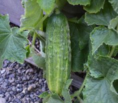 Spacemaster Bush Cucumber Seeds + FREE Bonus 6 Variety Seed Pack - a $30 Value!