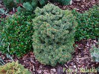 Picea abies 'Sazavka Nr4' Picea Abies, Vegetables, Plants, Vegetable Recipes, Plant, Veggies, Planets