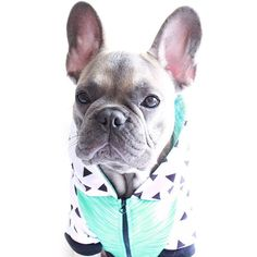 When you look yourself in the mirror and realize even your swag has swag   Hoodie by: @frenchie_bulldog #frenchiepetsupply  Use code LITTLEENZO at check out for 10% off your hoodie #swagnotincluded by littleenzo_the_frenchie