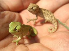 Baby Chameleons - Okay, I never pin stuff like cute baby animals... but seriously... these are too cute!