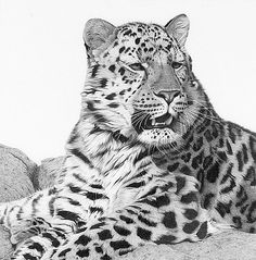 Amur leopard by Clive Meredith