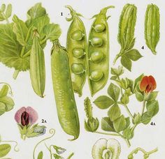Garden Peas & Lentils Flowering Legumes Food Chart Vegetable Botanical Lithograph Illustration For Your Vintage Kitchen 43 Edible Plants, Cactus Plants, Food Charts, Fruit Art, Illustrations, Botanical Prints, Vintage Prints, Vintage Style, Lentils