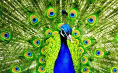 Practitioners of training the mind are like peacocks, which are said to strive on plants that are poisonous to other birds, for they can transform their adversities into the spiritual path. Description from pinterest.com. I searched for this on bing.com/images