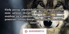 Kiedy panują odpowiednie warunki pogodowe wilk może usłyszeć dźwięk z odległości 10 kilometrów znajdując się w głębokim lesie, natomiast na otwartej przestrzeni usłyszy dźwięki z odległości nawet 16 kilometrów.