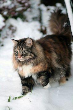 Norwegian Forest Cat <3