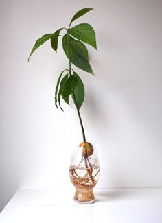 Grow your own avocado easily! It will be super fun and tree will be poor and cute.growing avocado from seedSo züchten Sie Ihren eigenen Avocado-Baum – Roomedwhere the crucified pit of an avocado still sits in water.Home Plants - Everything you sho Green Plants, Potted Plants, Indoor Plants, Plantas Indoor, Indoor Water Garden, Vase Crafts, Hydroponic Gardening, Hydroponic Growing, Growing Plants