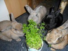 Die Kaninchen verputzen ein Töpfchen Petersilie im Nu.