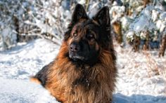 #vetsswale The German Shepherd has held many jobs other than movie star: leading the blind, chasing down criminals, sniffing out illegal substances, serving in the military, visiting the sick, and herding stock are just some of the jobs held by this versatile breed.