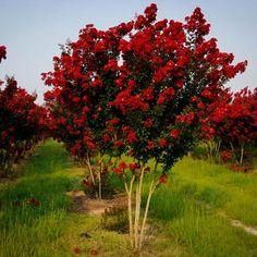 Black Diamond Crepe Myrtle Beautiful In Best Red Variety