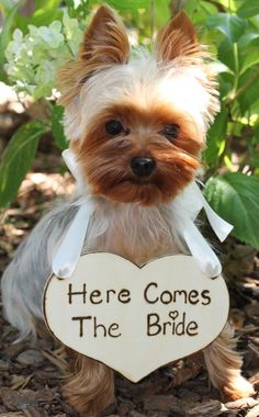 Yorkie carries sign heralding the bride's arrival