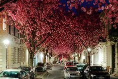 blossom street in bonn, nordrhine westfalia - Germany - is awesome and so wonderfull in spring there - Bonn is onyl 50KM from my Hometown Cologne - Cologne, View to West to Netherlands - from flikr.com https://www.flickr.com/photos/maxunterwegs/9056379439/sizes/h/in/photostream maxunterwegs