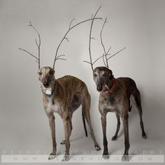 Dog - Greyhound - Rescue - The one on the right looks just like Duke.