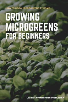 Guide to Growing Microgreens - How to Grow Microgreens At Home - A beginner's guide to microgreen growing for gourmet meals and smoothies #microgreen #microgreens #beginnergardening #indoorgardening #urbangardening