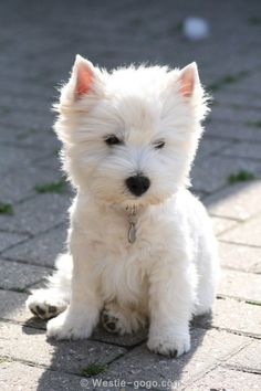1000  images about Westies on Pinterest