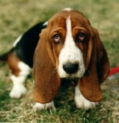 "You have perfected the ""puppy dog eyes."" 38 Signs You're A Basset Hound Basset Puppies, Hound Puppies, Basset Hound Puppy, Dogs And Puppies, Doggies, Beagles, Bassett Hound, Puppy Dog Eyes, Dog Cat"