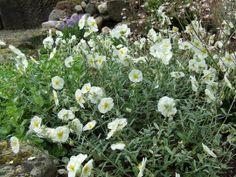 Helianthemum `The Bride` (Zonneroosje) | zomer | Tuinplanten stekplek