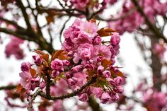 """See 2605 photos and 32 tips from 12797 visitors to Downtown Vancouver. """"Vancouver is best enjoyed with someone who has lived here for years. Downtown Vancouver, Sakura Cherry Blossom, Spring"""