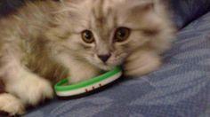 لامابدي اتحمم كتير برد  #ارفع_علم_ثورتك - #سوريا #قطط #Cats  No please .. NO BATH .. it's very cold #SyrianRevolutionflag - #Syria