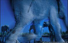 """""""Blues"""", foto de Greg du Toit, o primeiro lugar no prêmio Wildlife Photographer 2013. Veja também: http://semioticas1.blogspot.com.br/2012/10/lista-vermelha-da-extincao.html"""