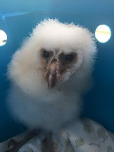 Orphaned barn owlet at WildHeart Ranch in Oklahoma.
