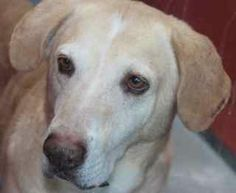*MACK - ID#A754280  Shelter staff named me MACK.  I am a male, gold Labrador Retriever.  The shelter staff think I am about 5 years old.  I ...