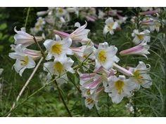 Výška:  100 - 150 cm  Květ:  bílo - růžový, velký, vonný, VII. Dodáváme silné cibule, obvod 18 - 20 cm v květináči!!! Vděčný a nenáročný druh, pocházející z....  ...čínských hor v provincii Szetschuan, kde byla nalezena v roce 1903. V Evropě je pěstována od roku 1912. Pro svoji otužilost, nenáročnost a krásné, velké, silně vonící květy si získala velkou