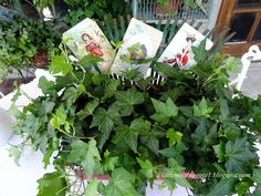 An old rake used to hold vintage seed packets in potted plant