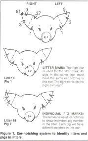 pig ear notching | Ear Notch Diagram | Homestead - Pigs/Hogs ...