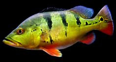Cichla ocellaris, the peacock bass. A large South American cichlid grows Plan on 100 gallons for one individual! Tropical Freshwater Fish, Freshwater Aquarium, Tropical Fish, Aquarium Fish, Vintage Fishing Lures, Sea Fishing, Gone Fishing, Bass Fishing, Fishing Cat