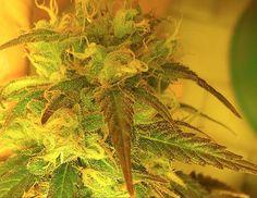 Marijuana Bud closeup ready for harvest