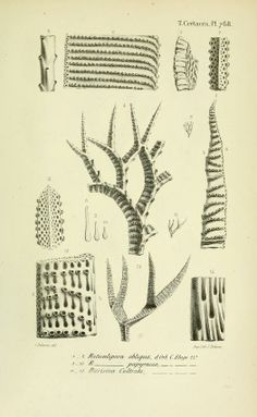 The Biodiversity Heritage Library works collaboratively to make biodiversity literature openly available to the world as part of a global biodiversity community. Science Drawing, Scientific Drawing, France, Botanical Art, Fossils, Natural, Literature, Birds, Drawings