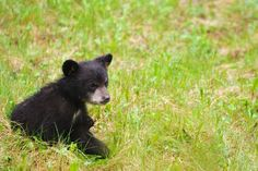 Black bear cub sitting in a field at Cades Cove