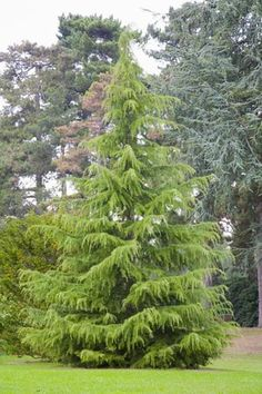 The Deodar cedar (Cedrus deodara) is an evergreen conifer tree that is favored for its weeping habit. It's used as a specimen tree and to line streets. Conifer Trees, Trees And Shrubs, Trees To Plant, Garden Shrubs, Garden Trees, Lawn And Garden, Evergreen Landscape, Evergreen Garden, Backyard Trees