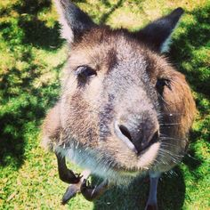 Wild Wednesday! This guy just wants a cuddle, how #cute is that?! Great photo by @port_lincoln_yha at Kangaroo Glen Forest Animal Park on #EyrePeninsula #southaustralia #kangaroo