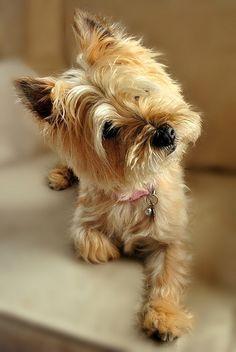 Cairn Terrier, that look!