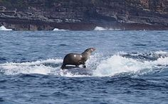 A seal takes a ride on the back of a humpback whale off the New South Whales coast, Australia. Photographer Robyn Malcolm was on a boat trip out of Eden, NSW, were he experienced dolphins, seals, birds and whales all feeding on fish.