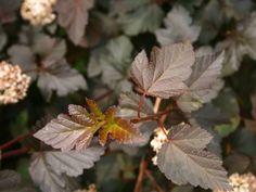 Dunkelrote Blasenspiere 'Diabolo' ® - Physocarpus opulifolius 'Diabolo' ® - Baumschule Horstmann Plant Leaves, Plants, Dark Red, Roots, Plant, Planets