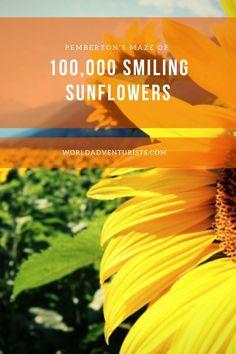 Getting lost in Pemberton's Maze Of 100,000 Smiling Sunflowers #sunflowers #sunflowermaze #pembertonbc #hellobc #explorebc #sunflowerfield #flowerpower #summerscenes #getintonature #flowers #britishcolumbia #sunflower #sunflowermagic California Wildflowers, Summer Scenes, Texas Bluebonnets, Sunflower Fields, Beautiful Places In The World, Water Lilies, Maze, British Columbia, Sunflowers