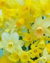 Mini Daffodil Rockgarden Mixed