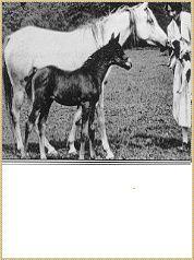 Rifala (Skowronek x Rissla) dam of *Raffles, Crabbet Arabian Mare Beautiful Arabian Horses, Horse Farms, Irish, Blood, Foundation, Queen, Princess, Garden, Animals