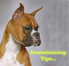 Puppy potty training can be a difficult and frustrating experience. The process will require patience and consistent discipline to properly train your puppy. Puppies should begin potty training as soon as they are brought home. Puppy Toilet Training, Puppy Potty Training Tips, Dog Training Methods, Training Your Dog, House Breaking A Puppy, Puppy Crate, Best Puppies, Boxer Dogs, Funny Boxer