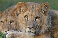 Lvi, Portrét, Kočky, Kočkovité Šelmy, Predátor, Velké
