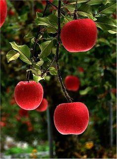 #  juicy red apples ... <3 www.24kzone.com