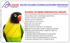 Budgies, Parrots, Lovebird Tattoo, Love Birds Pet, African Lovebirds, Exotic Pets, Exotic Animals, Kinds Of Birds