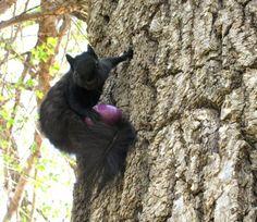 Marysville's black squirrels