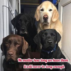 Mind Blowing Facts About Labrador Retrievers And Ideas. Amazing Facts About Labrador Retrievers And Ideas. Cute Puppies, Cute Dogs, Dogs And Puppies, Doggies, Corgi Puppies, Perro Labrador Retriever, Labrador Dogs, English Labrador, Retriever Puppies