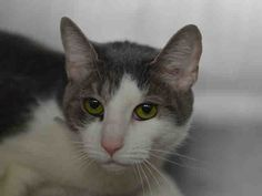 THREAD - A1036931 - - Manhattan  *** TO BE DESTROYED 05/26/15 *** TERRIFIC THREAD IS A FIVE YEAR OLD LADY WHO CAME IN AS A STRAY……THREAD is not happy at the ACC (who would be?) and has a NEW HOPE rating. YOU can give thread HOPE and a NEW LIFE by contacting a NEW HOPE rescue and offering to FOSTER OR ADOPT tonite!! Many NEW HOPE rated cats just need TIME and TLC….ISN'T IT WORTH IT TO SAVE A LIFE?? -  Click for info & Current Status: http://nyccats.